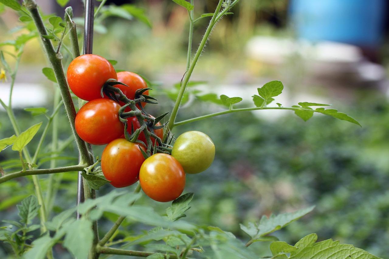 tomato-1279679_1280
